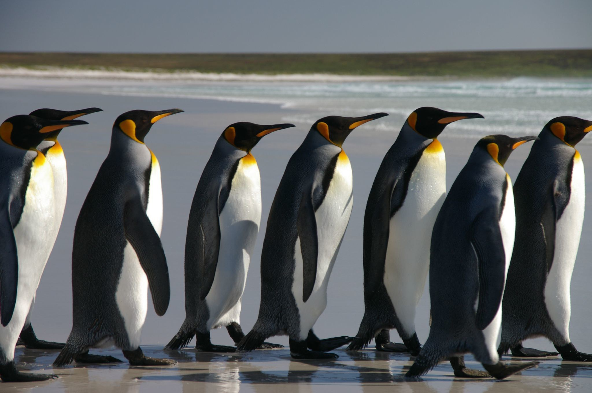 Falkland Islands Penguins 40